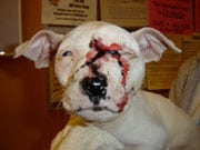 Bloody pit bull