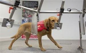 dogs can be trained to detect cancers