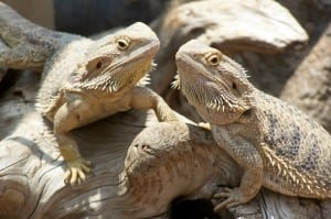 bearded dragon lizards
