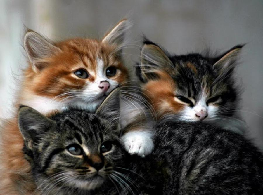 Are three cats a crowd steve dale pet world The three cats