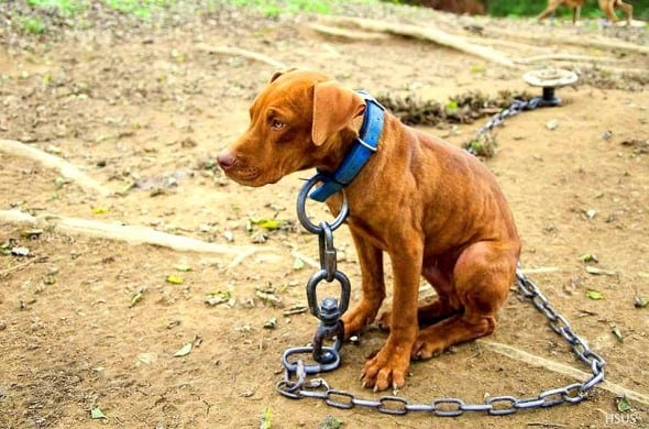 Chaining Pet Dogs