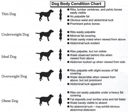 Explanation for so many Labradors being overweight or obese by Steve Dale