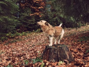 dog on a tree stump in the woods