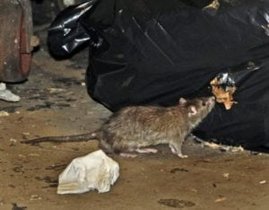 Now, this does contribute to the rat problem