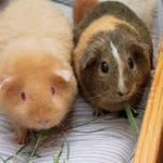 Dr. Lore Haug tells Steve Dale Guinea Pigs need to feel safe too