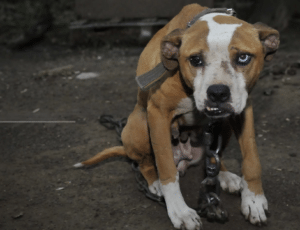 Pet expert Steve Dale says Mexico has moved to ban dog fighting
