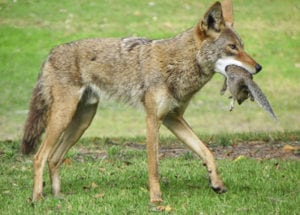 Coyotes keep rodent numbers in check