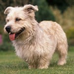 Glenn of Imaal Terrier