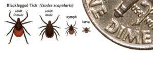 Black legged ticks, various life stages (CDC image)