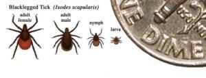 Black legged ticks, various life stages (CDC image)