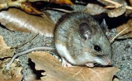 This little mouse could have 50 or more tiny ticks on board. With a giant acorn season expect, mice are expected to reach record numbers in places