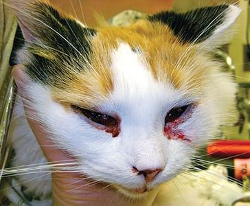 Viruses In Cats Eyes
