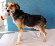 Following treatment for Demodectic mange