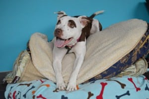 Roxy at Found available for adoption on WGN Radio Wednesday morning with Steve Dale and Steve Cochran