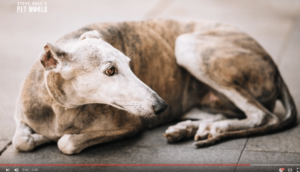 Dog trainer Dennis Damon talks about training sight hounds with Steve Dale