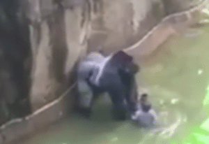 Harambe was shot and killed when a little boy fell into the exhibit
