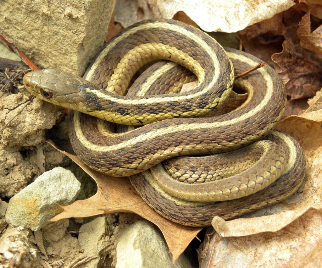 Common garter snake may deter rats says pet expert Steve Dale