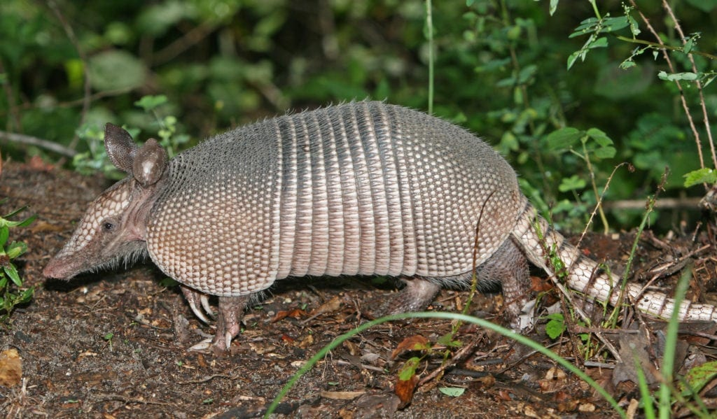 What happens when you shoot an armadillo