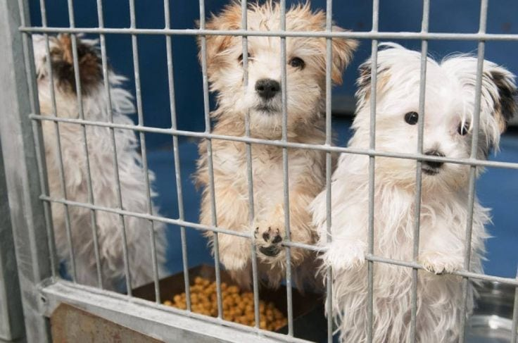 Dr. Valarie Tynes on House Training a puppy mill dog