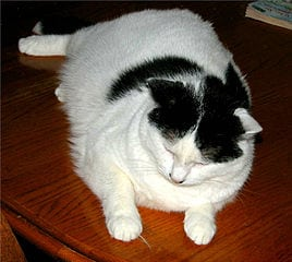 Overweight cats at risk - Winn Foundation study reveals more