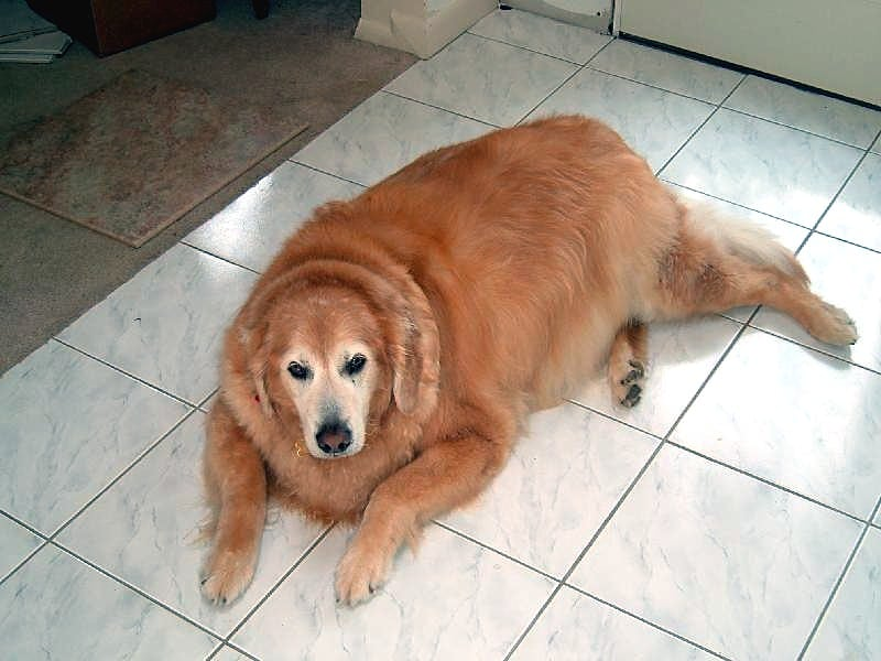 Obesity in pets is an epidemic