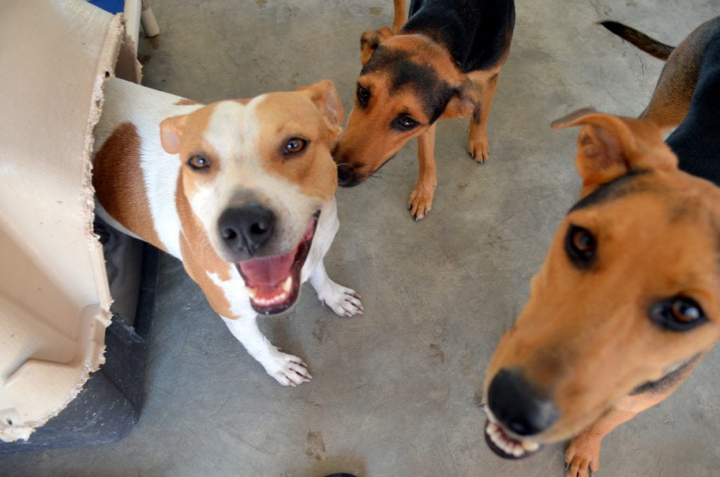 Which of these dogs at SPCA Puerta Vallarta would potentially be euthanized in Montreal if the pit bull ban eventually foes into affect? One of these dogs or more than of these dogs? None are aggressive