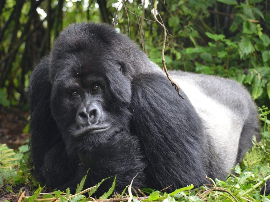 This dude happens to be the largest gorilla in the world, and you may see him and take a picture like this without a zoom
