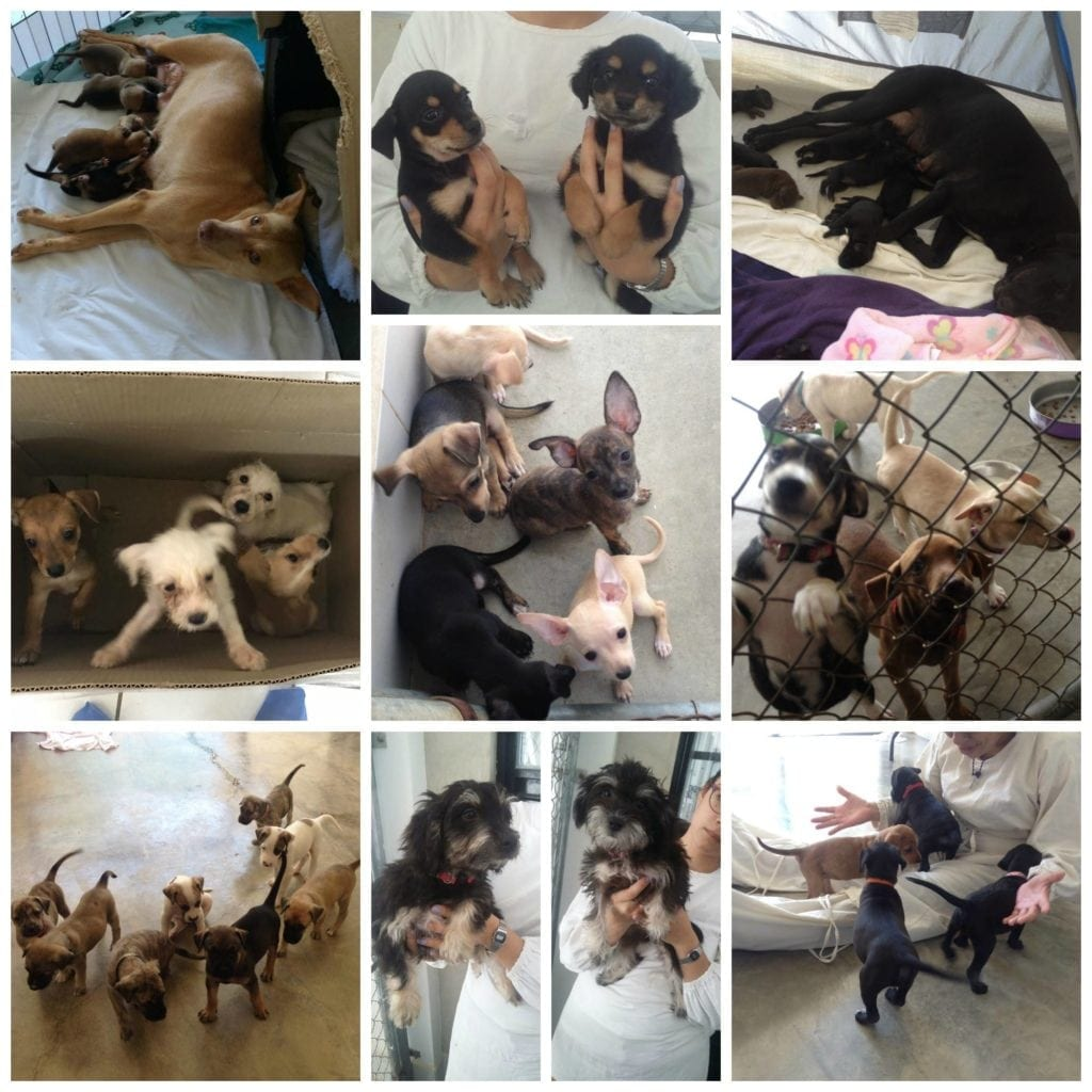 SPCA Puerto Vallarta is puppies of all kinds, for all tastes