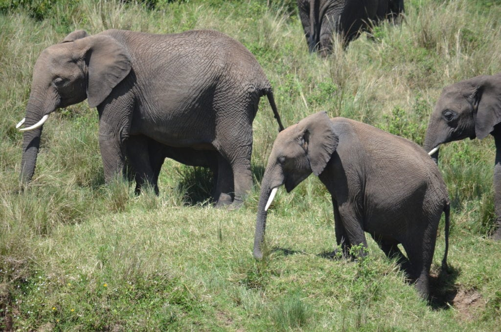 African elephant are still being shot, and in places where they are protected with a limited range they require safe corridors to travel