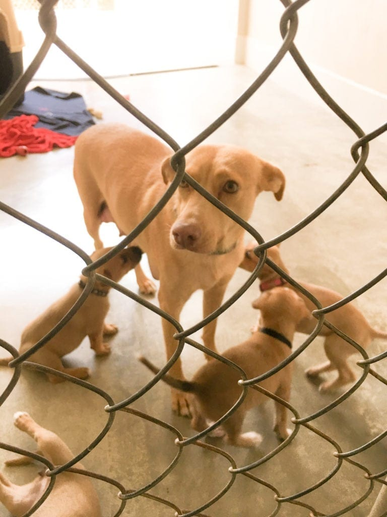 This dog and her pups were taken in by the SPCA Puerto Vallarta