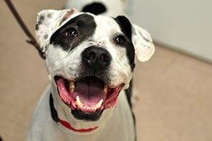 Pet expert Steve Dale says pit bulls have the best smile