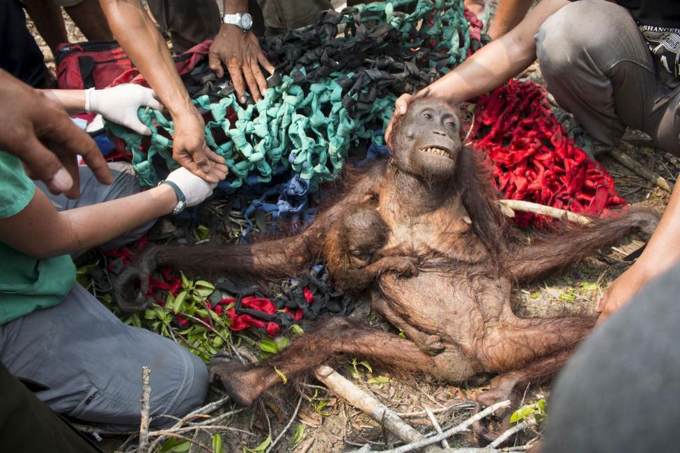 Starving orangutan mother orangutan can't find food. (International Animal Rescue/Reuters)