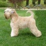 Soft Coat Wheaten Terrier