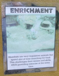 This zoo in the Bahamas explains why and how environmental enrichment is used for meerkats