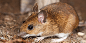 Between mild winters and decreased natural predation the white-footed mouse numbers have skyrocketed. These rodents are most responsible for Lyme, as the deer tick life cycle often begins with them