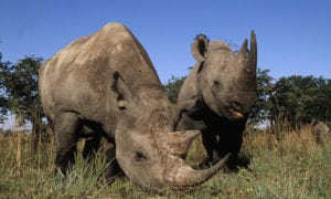 Soon school children may only read about the rhinoceros in books - and if we're very lucky they may exist in zoos, and that is all