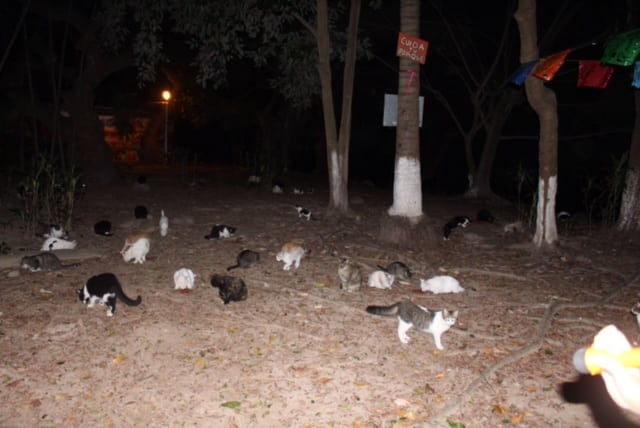These are cats in Puerto Vallarta near the river, and not at all far from a busy restaurant area