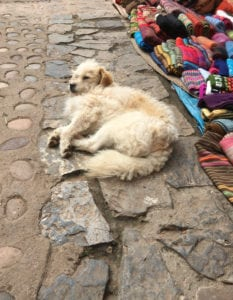 Stray dog or owned dog - who knows - in Cusco
