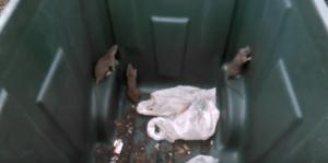 Dumpster diving rats