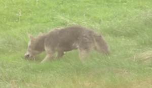 Coyotes hunting a rat