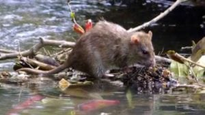 Pet expert Steve Dale describes leptospirosis and how to avoid it