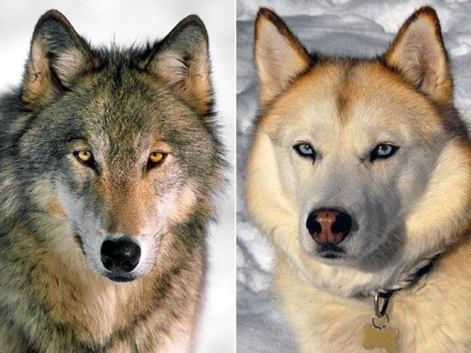 Can A Wolf Breed With Any Dog