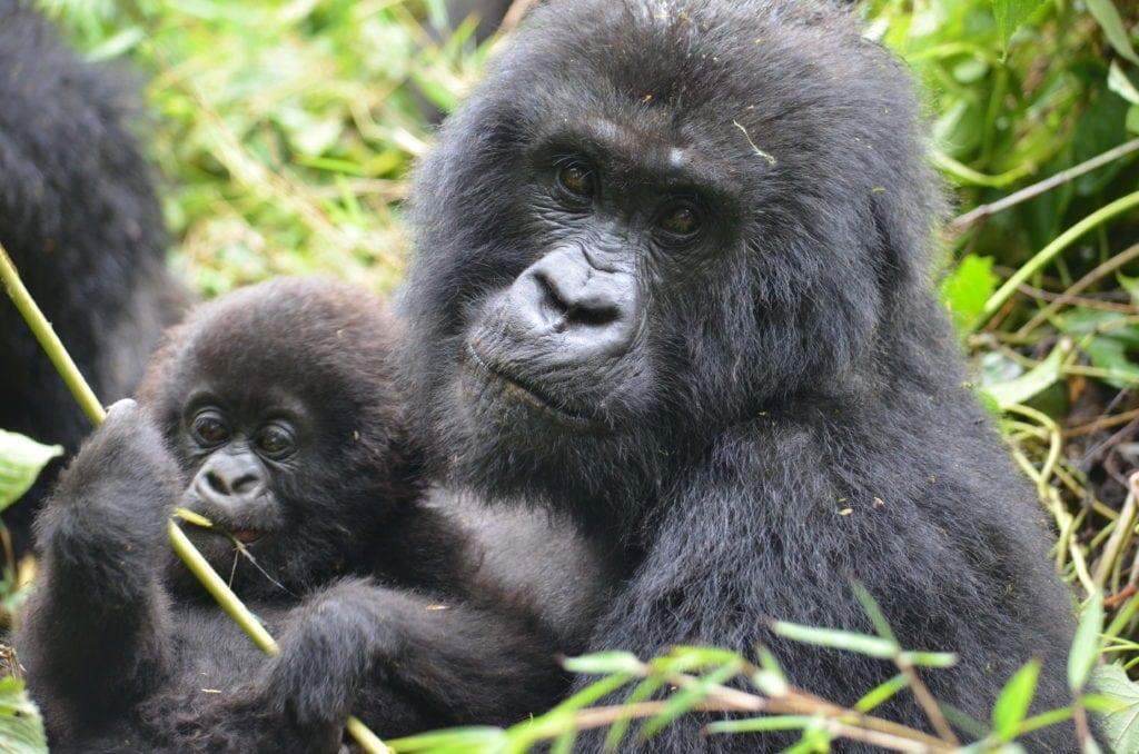 Everyone needs a gorilla update