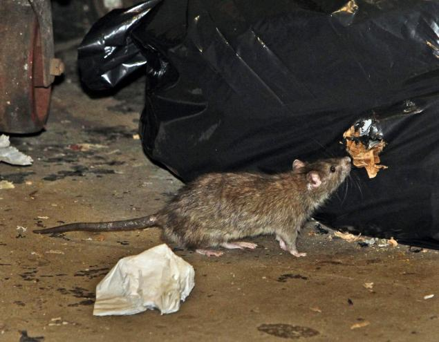 Steve Dale says rat problem in Chicago has nothing to do