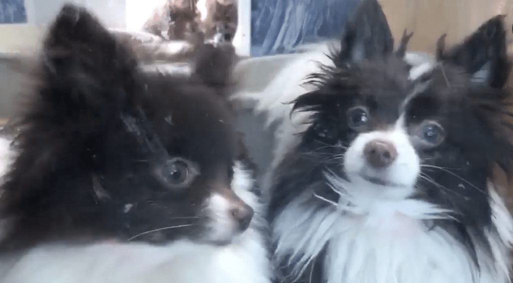 Backyard breeder or puppy mill dogs confiscated