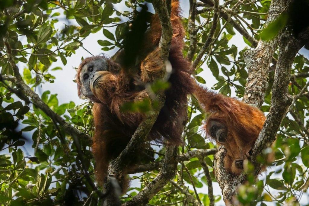 New Orangutan species (PHOTOGRAPH BY TIM LAMAN, NATIONAL GEOGRAPHIC CREATIVE)