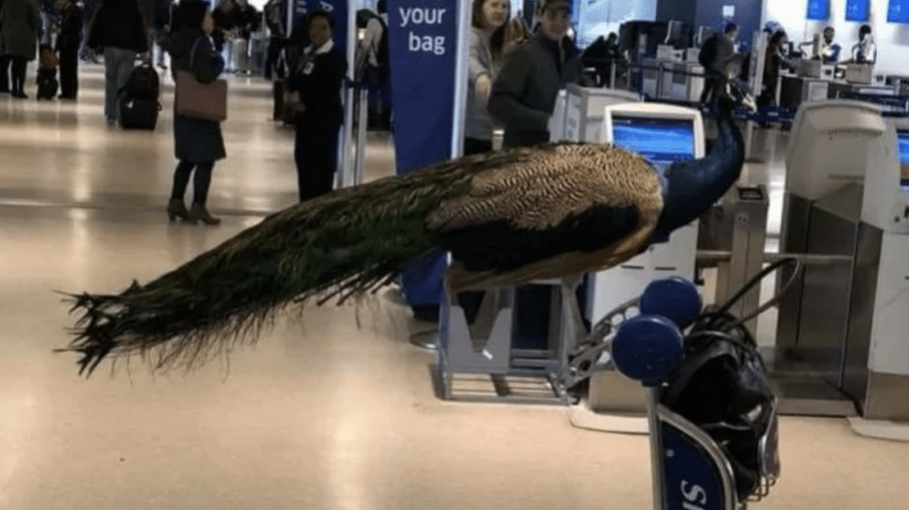 Peacock on a plane? What do you think?