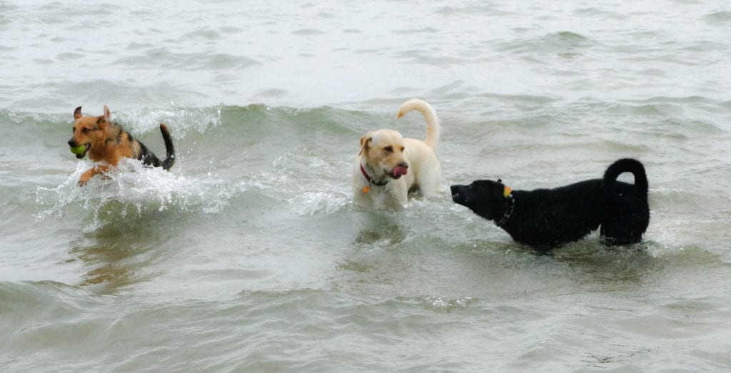Montrose Dog Beach and Mutt Jackson