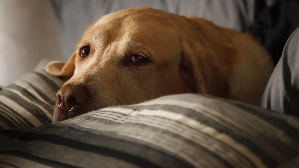 Dog flu makes returns to Arkansas