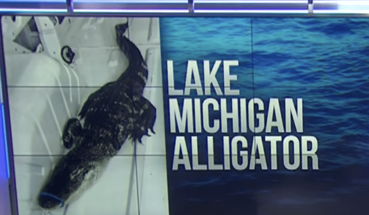 Alligator is rescued from Lake Michigan